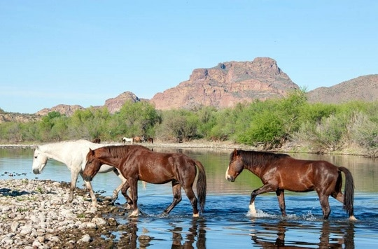 Salt River Wild Horses get Reprieve from Round-Up