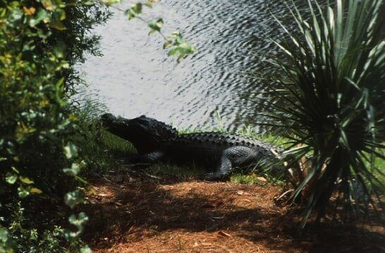 Kiawah island alligator