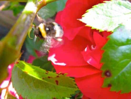 Hummel zwischen Rosen