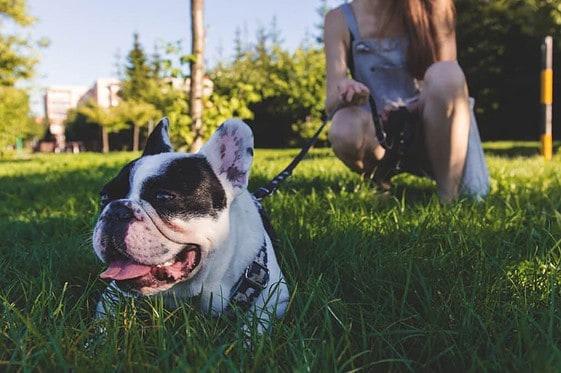 French Bulldog Rescue NJ