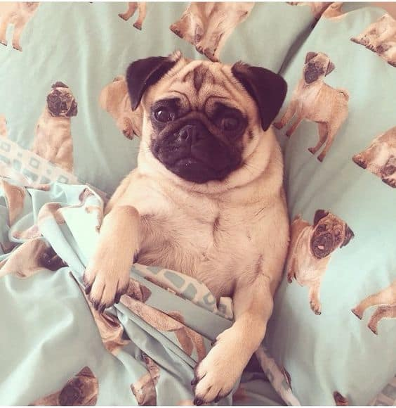 pug-in-pug-bed