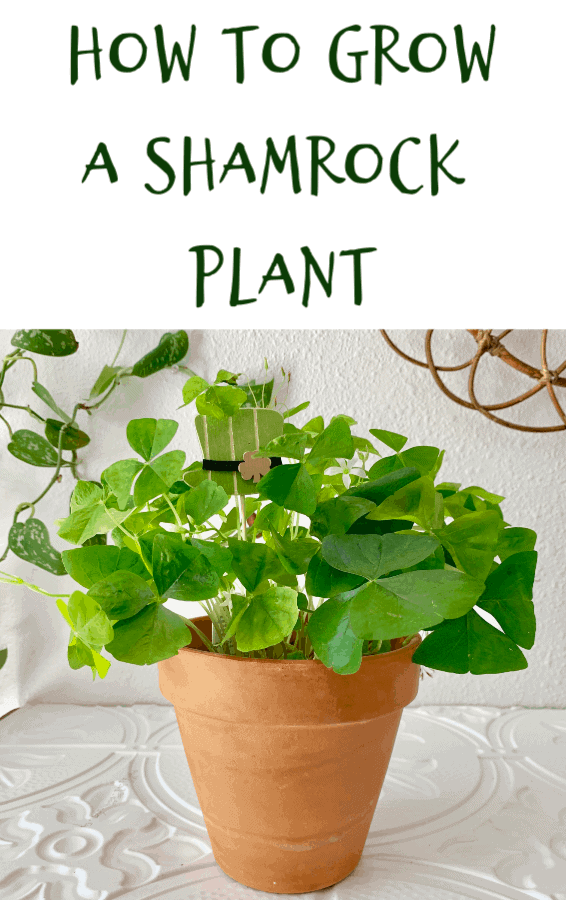 how to grow a shamrock