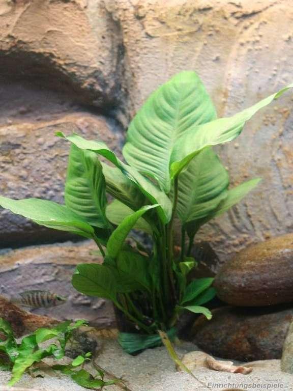 Best Low Maintenance Fish Tank Plants Anubias Heterophylla
