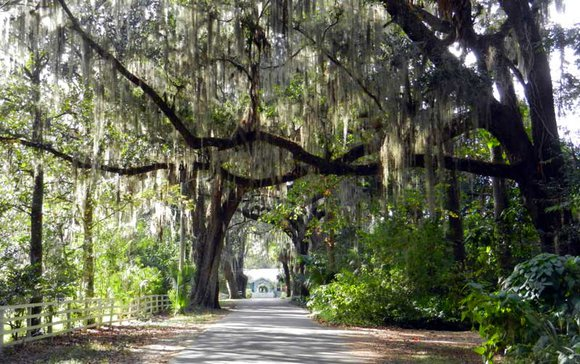 This is Old Florida: Oak trees in Micanopy FL.
