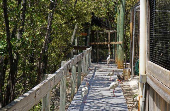 At the Florida Keys Wild Bird Center in Tavernier, five birds walk on boardwalk past other caged birds.