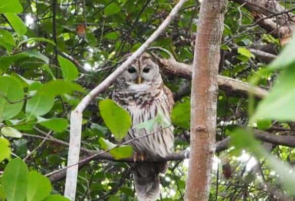 Barred owl at Everglades National Park. Seen just below the Pa-hay-okee Overlook in Everglades National Park. (Photo: David Blasco)