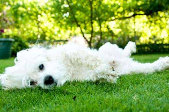 A white puppy rolling on grass