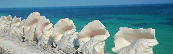 A row of large conch shells on a the sand