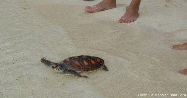 Hatching baby turtles in bora bora