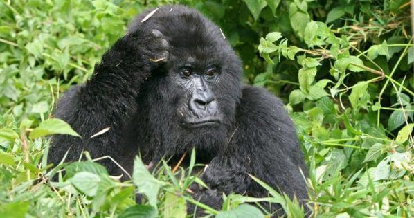Uganda mountain gorillas are gentle, fascinating and endangered