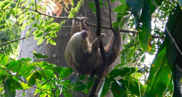 Sloths are just one of many local critters you'll spot at zoo ave rescue center in costa rica