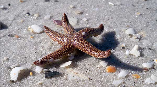 Starfish on Cayo Costa island