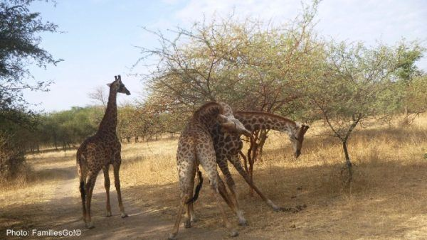 Bandia reserve in senegal is more than a zoo and has lots of indigenous african animals, like giraffes.