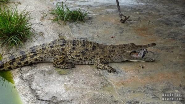 Farma Krokodyli - Kuba