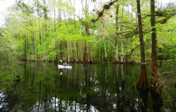 Cypress trees leafing out in spring make the Withlacoochee River a world of intense greens.