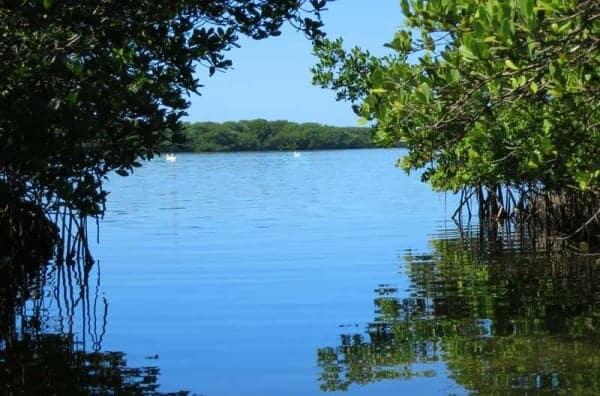 Charlotte Harbor kayaking: White pelicans and mangrove mazes