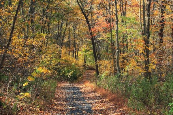 A leafy and flat stretch of the appalachian trail with autumn foliag on the trees and ground.