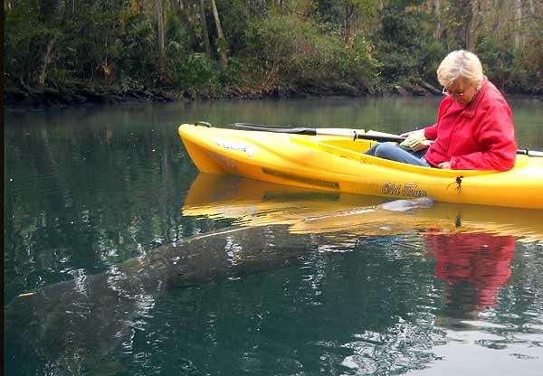 Where to see manatees in Florida: This manatee nudges our kayak at Weeki Wachee. (Photo: David Blasco)