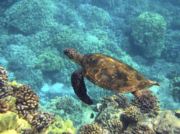 Snorkeling visitors to hawaii can see local sea turtles swimming among the coral.