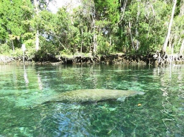Manatee at Three Sisters Springs in Crystal River