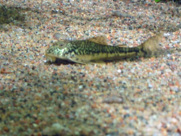Type Of Algae Eaters Pitbull Pleco Fish
