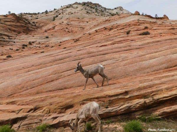 Horned mountain sheep are easy to spot in Zion Park