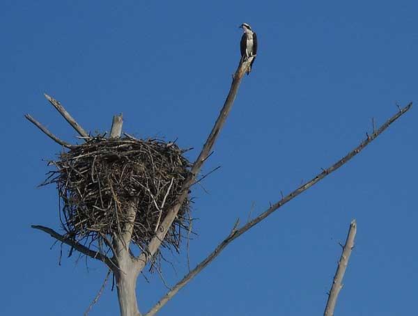 Osprey nest at Lovers Key Fort Myers Beach