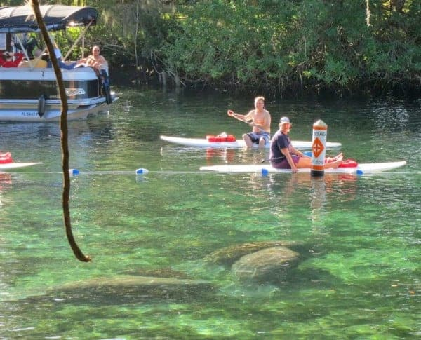 These Crystal River manatees are within the roped-off sanctuary called Idiot's Delight Spring, just outside Three Sisters Spring. The view is from the boardwalk at the spring.