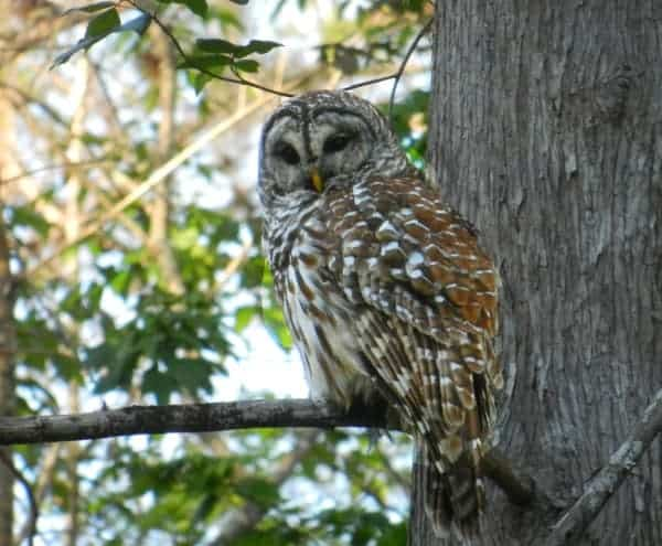 This barred owl at Arbuckle Creek swiveled his head to follow us as we paddled under his tree. The river is located along the Lake Wales Ridge.
