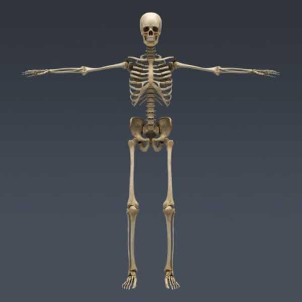 BodyMuscSkel th011