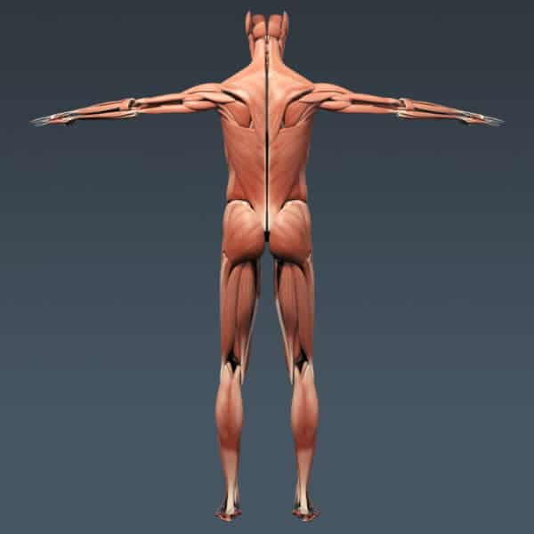 BodyMuscSkel th013