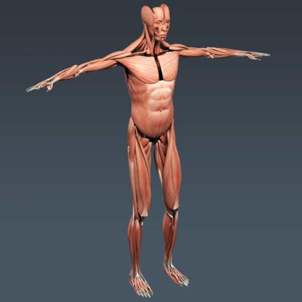 BodyMuscSkel th028