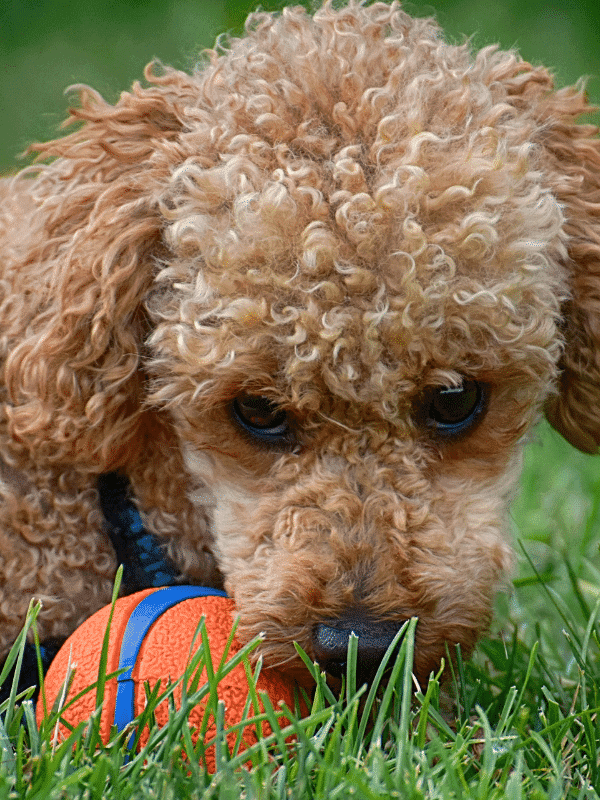 Poodles are one breed that may be prone to seizures.