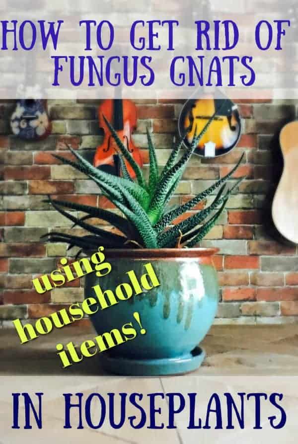 to get rid of fungus gnats in houseplants