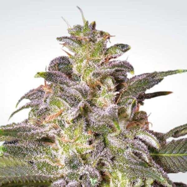 Magic Bud by Paradise Seeds