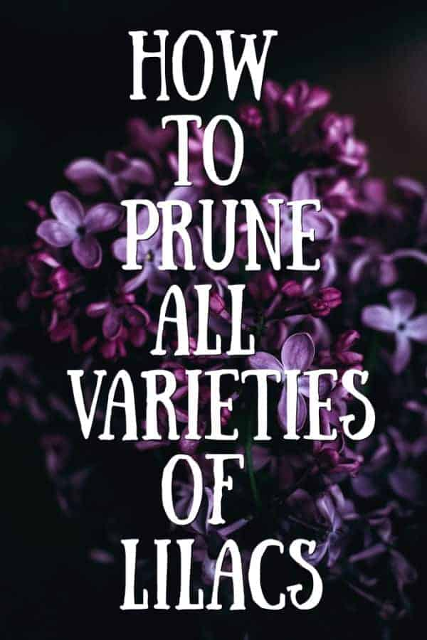 how to prune all varieties of lilacs graphic