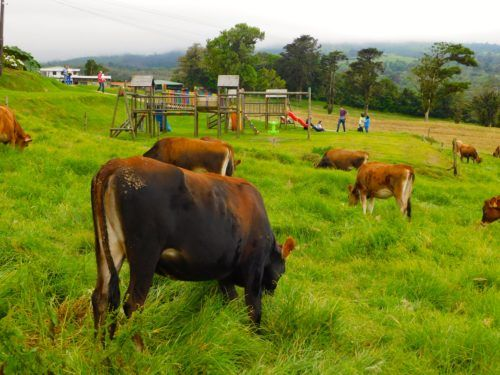 Corso dairy farm has cows, playgrounds and ice cream