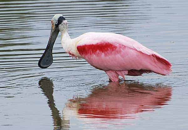 Roseate Spoonbill at Eco-Pond in the Everglades