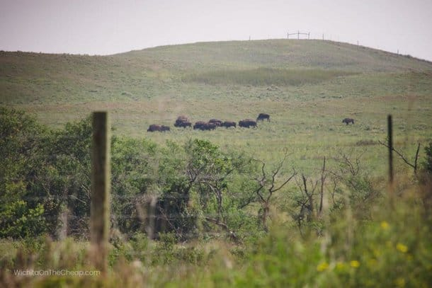 Bison grazing near the road at the Maxwell Wildlife Refuge in Canton, KS