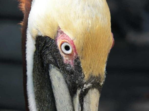 Pelican at Florida Keys Wild Bird Center, Marathon