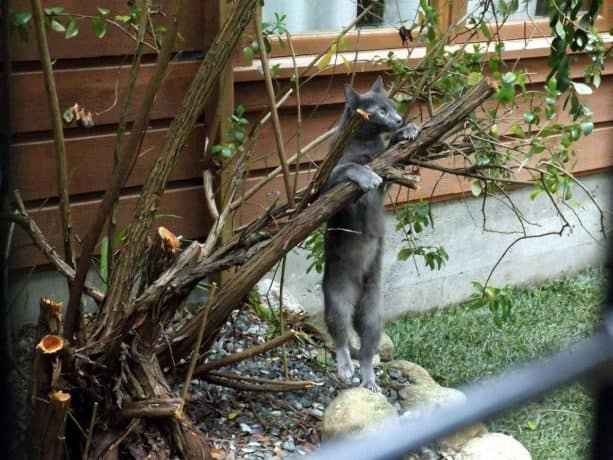 the cat experiencing climbing real tree instead of shelves