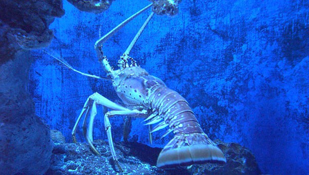 Florida spiny lobster.