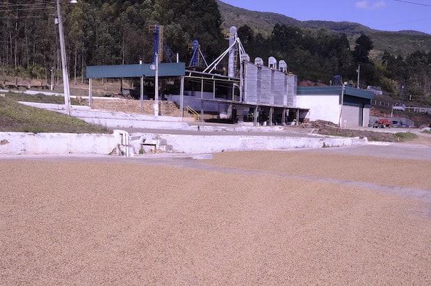 Raw coffee beans lying in the sun to dry on a Brazilian coffee farm