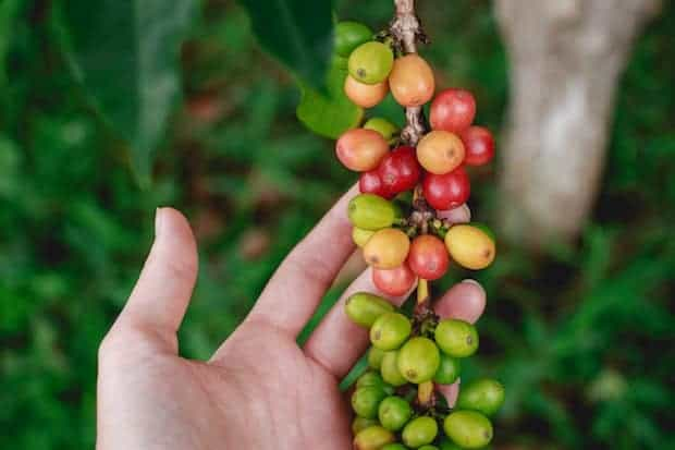 A hand holds up coffee cherries on a branch