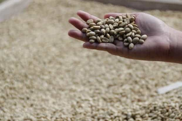Hand holding out green coffee beans