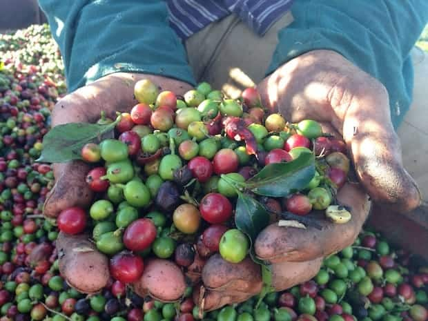 Closeup of a plantation worker's cupped hands full of coffee cherries
