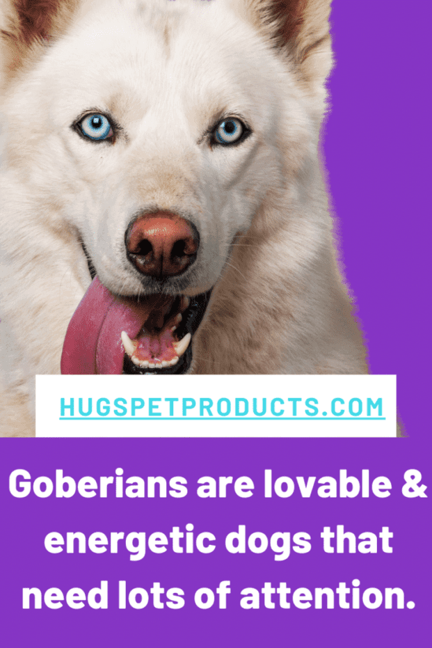 Goberian dogs can weigh as much as 80 pounds.