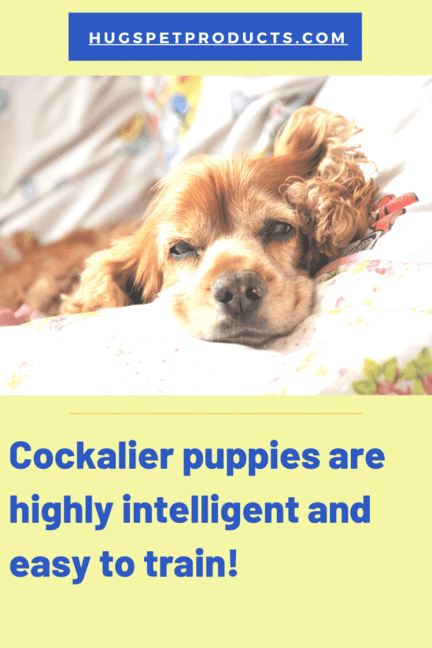 Cockalier Puppies are highly intelligent and make good family dogs.