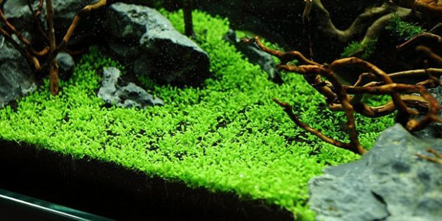 "Best Foreground Aquarium Plants For Nano Tanks ""Elatine hydropiper Or Eight-Stamen Waterwort"""