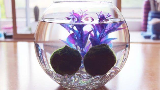 The Easiest Aquarium Plants For Beginner Aegagropila Linnaei Known as Marimo Moss Ball